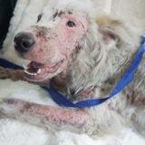 Recouverte de gale, cette chienne errante avait perdu tous ses poils : aujourd'hui, elle est métamorphosée !