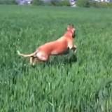 Cette chienne saute comme un Kangourou, sa vidéo fait le tour du web !