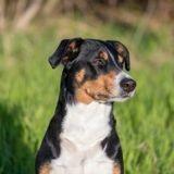 Existe-t-il une pilule du lendemain pour chien ?