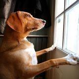 Les chiens ont-ils un sixième sens ?
