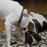 Comment gérer deux chiens mâles sous le même toit ?
