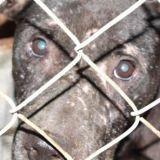 Combats  de chiens : 120 animaux sauvés en Floride