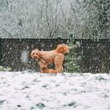 Ses chiens jouent dans la neige : quand elle leur demande de rentrer, ils portent 11 kg de boules de neige sur eux