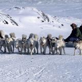 Les chiens de traîneau, victimes eux aussi du réchauffement climatique