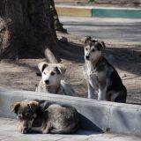Considérés comme des déchets, les chiens errants de Sotchi sont exterminés