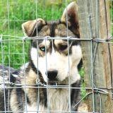 Canada : 100 chiens de traineau tués car jugés « inutiles »