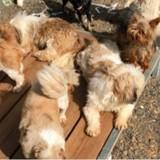 Mayenne : 200 chiens destinés à une vente aux enchères ont été rachetés par un élevage-usine