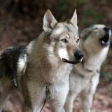 Des chiens-loups gardiens de prison