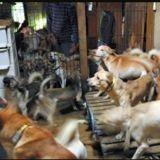 Au Japon, 164 chiens squelettiques ont été secourus d'un logement de 30m2 (Vidéo)
