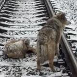 Il voit deux chiens sur les rails de chemin de fer, s'approche et réalise l'horrible vérité (Vidéo)
