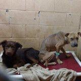 Ces chiens effrayés changent totalement quand ils découvrent qu'ils sont adoptés ensemble (Vidéo)