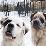 Ces 3 chiens Saint-Bernard n'arrivent pas à trouver une famille pour une raison bien précise