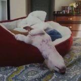 Ces chiens dorment dans des positions totalement improbables (Vidéo du jour)