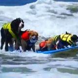 Des chiens pros du surf ! (Vidéo du jour)