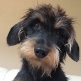 10 trucs à savoir absolument sur le Teckel, cet adorable «chien-saucisse»