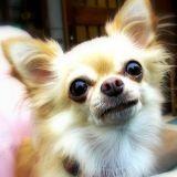 Chihuahua et Jack Russel : les 2 chiens les plus volés !