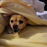 Le Chihuahua qui ne voulait pas se réveiller (Vidéo du jour)