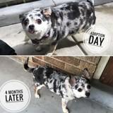Ce Chihuahua obèse est en mission « régime » !