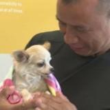 Perdu pendant un feu d'artifice, ce Chihuahua a retrouvé sa famille