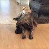 L'adorable domination d'un petit chien qui s'offre une sieste sur le dos d'un gros toutou (Vidéo du Jour)