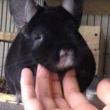 Ce chinchilla accro aux câlins est l'animal le plus heureux au monde (Vidéo du jour)