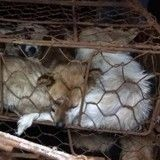 Yulin : le festival de la viande de chien aura bien lieu d'après les activistes