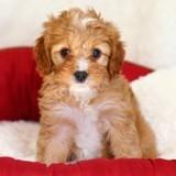 Elle réserve sur Internet un chiot Cavapoo : le jour de la livraison du chien, c'est la douche froide
