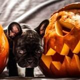 Halloween : 5 conseils à appliquer pour que votre chien vive cette fête sereinement