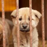 Une seconde chance pour 57 chiens élevés pour leur viande en Corée
