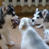 Ces chiots qui se disputent pour un jouet sont juste adorables (Vidéo du jour)