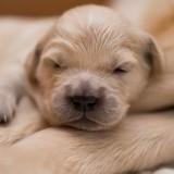 15 chiots trop mignons qui dorment paisiblement (Photos)