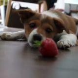 Quand un chiot rencontre une fraise (Vidéo du jour)