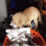 Quand un adorable chiot aide ses humains à faire la lessive (Vidéo du jour)