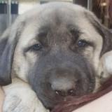 Chiot Berger Kangal volé dans un jardin : un petit détail sur le chien va tout changer
