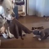 Un chiot minuscule affronte un Pibull très patient au tir à la corde : qui l'emportera ?
