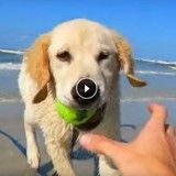 Ce chiot Golden Retriever découvre les joies de la plage ! (Vidéo du jour)