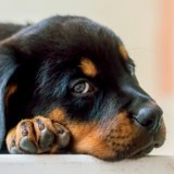 Elle rentre chez elle et trouve un paquet de biscuits au sol : en voyant son Rottweiler, elle comprend l'urgence
