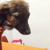 Ils demandent à faire euthanasier leur chien car il ne joue pas, ce que découvre le vétérinaire va tout bouleverser
