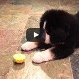 L'adorable réaction d'un chiot qui découvre… le citron ! (Vidéo du jour)