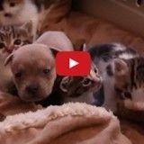 Un chiot orphelin sauvé par l'amour d'une maman chat (Vidéo du jour)