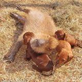 Adorable : des chiots adoptés par un étonnant rongeur ! (Photos)