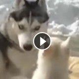 Ce bébé Husky qui joue avec sa maman est trop mignon (Vidéo du jour)