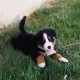 Quand d'adorables chiots font des roulades dans l'herbe (Vidéo du jour)