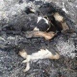 Les corps de cinq chiots retrouvés carbonisés dans une forêt