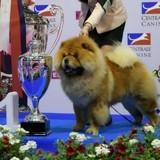 Qui sera sacré plus beau chien de race de France 2018 ?