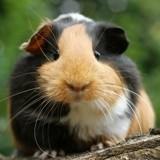 Le cochon d'Inde : tout savoir sur le cobaye, cet adorable animal de compagnie