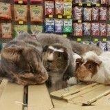 Cette chatte a une passion invétérée... pour les cochons d'Inde !