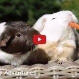 Pour une carotte, c'est la guerre entre ces cochons d'Inde! (Vidéo du jour)