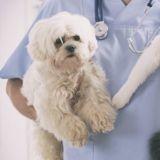 A l'hôpital Cochin, les chiens sont admis en salle de réanimation