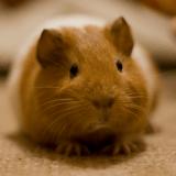 Comment préparer l'arrivée d'un cochon d'Inde à la maison ?